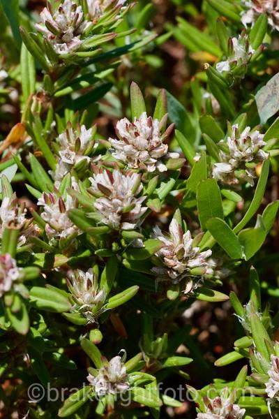 Black Knotweed - Polygonum paronychia