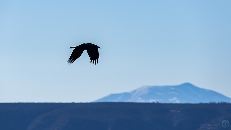 Raven fly-by