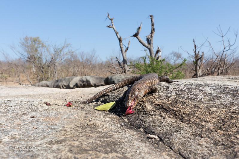 Giant Plated Lizard, Sabi Sands (EP), SA, Oct 2016-1.jpg