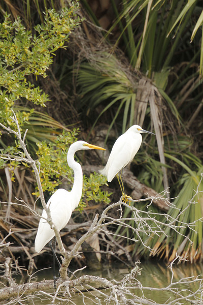 Great White Egret (black legs) and Showy Egret (yellow legs)