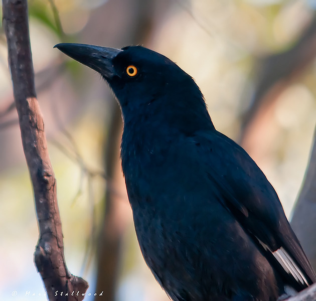 Currawong.jpg