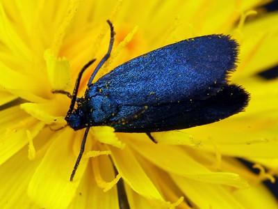 Zygaenidae - Forester Moths