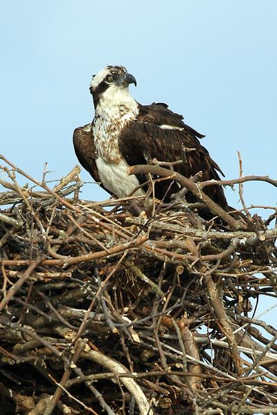 osprey-2_159698709_o.jpg