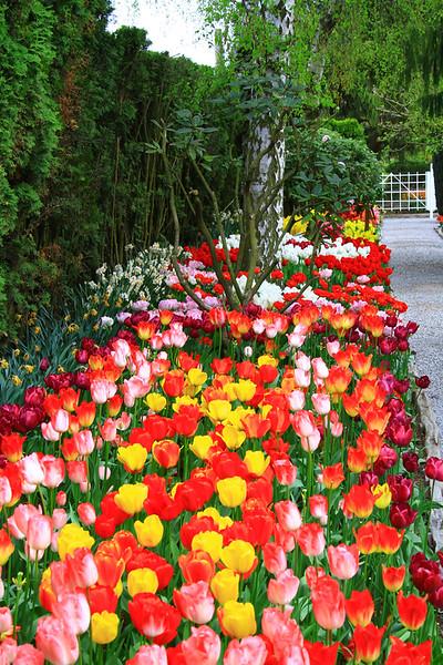 tulips-3081.jpg
