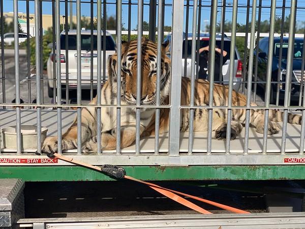 Tiger Visits LD