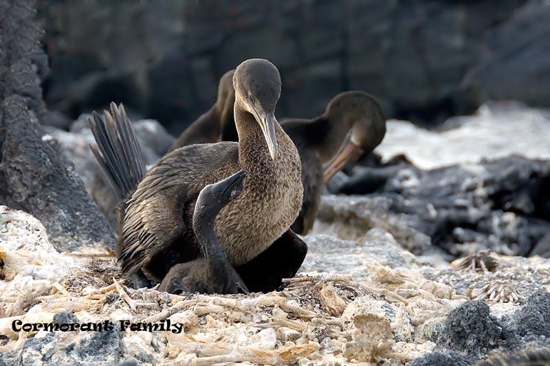 cormorantfamily4x656-(8).jpg