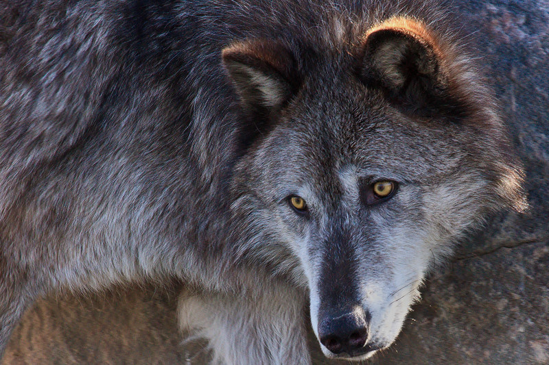 A captive timber wolf photographed at the West Yellowstone Bear and wolf discovery center West Yellowstone Montana.