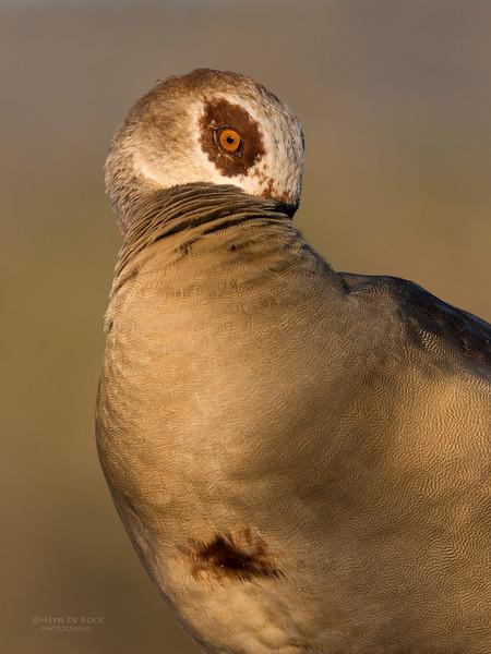 Egyptian Goose, Zimanga, South Africa, May 2017-5.jpg