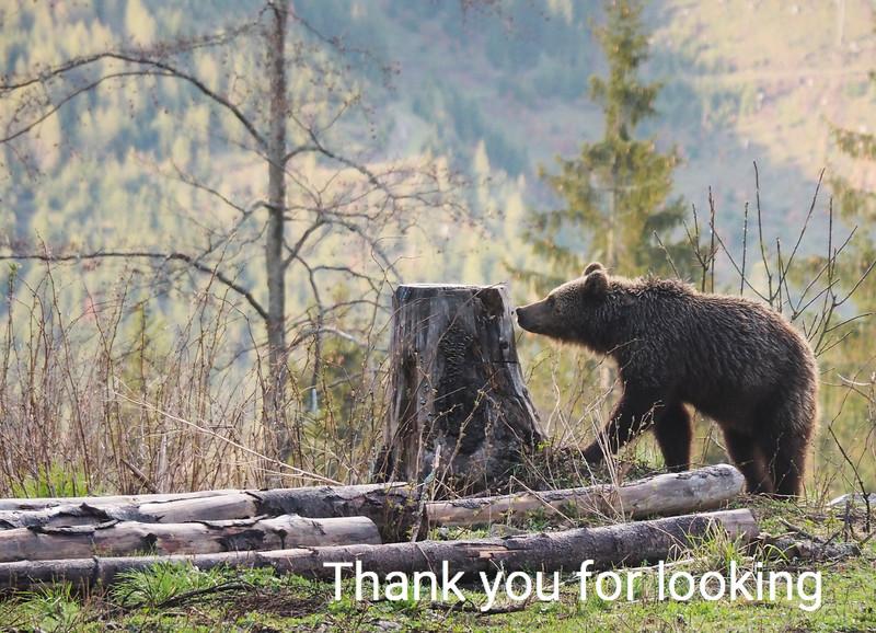 European Brown Bear: Slovakia