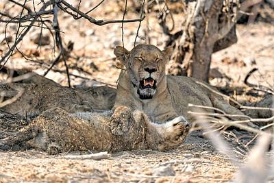 Lions at Chobe National Park