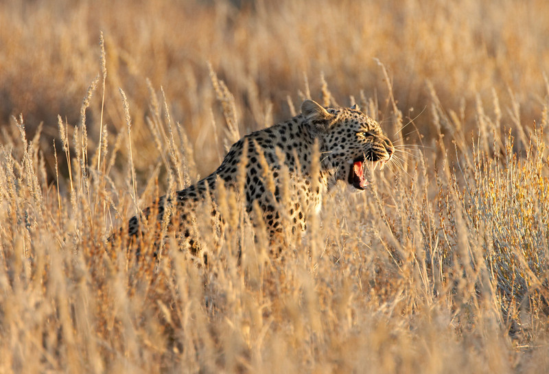 Leopard -1866.jpg