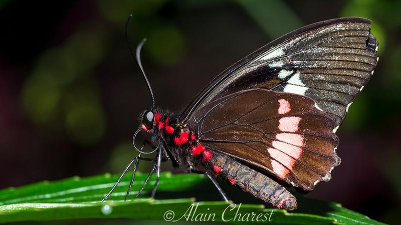 Papillon__ALH7470.jpg