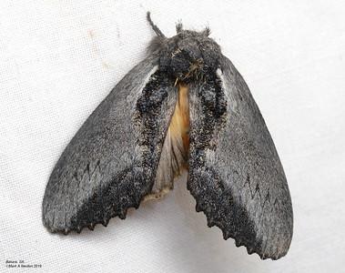 Hylaeora sp1