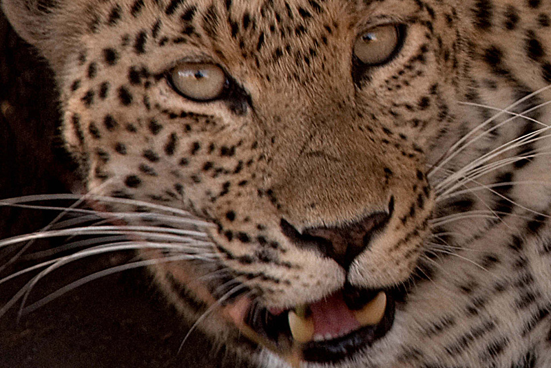 Leopard3_edited-1.jpg