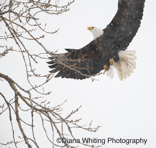 03_02_2019bald eagles_242 copy.jpg