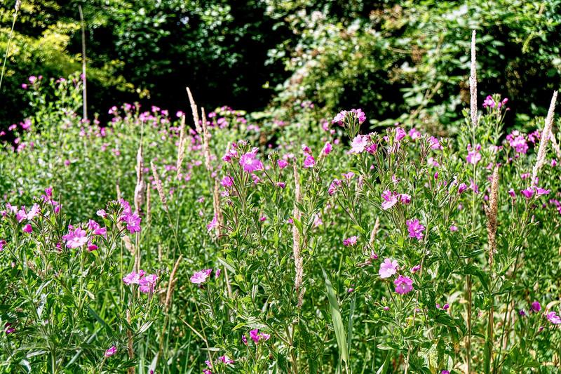 Wild Flowers in Morden Hall Park - 2019