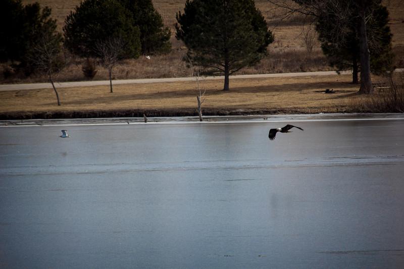 Eagle Soaring lake-7129.jpg