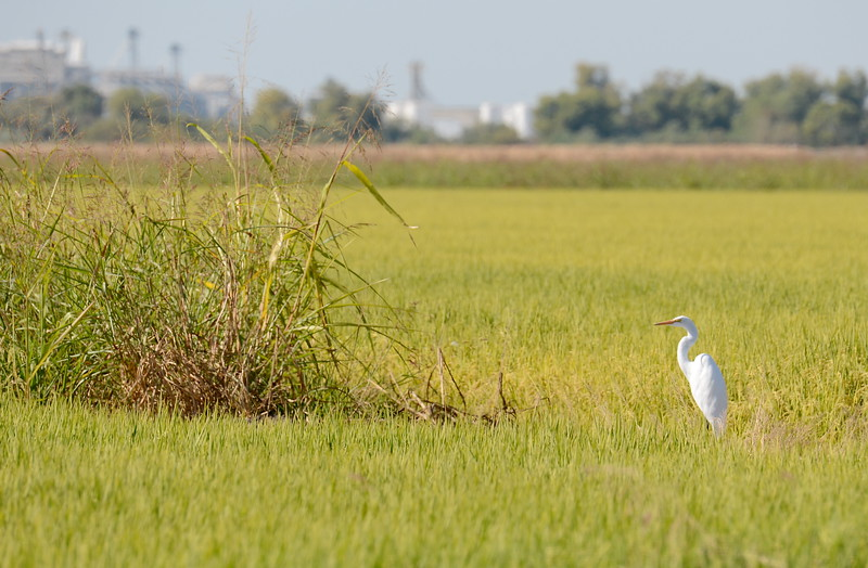 An Egret stands in a rice field in Butte County, California Friday Aug. 31, 2018.  (Bill Husa -- Enterprise-Record)