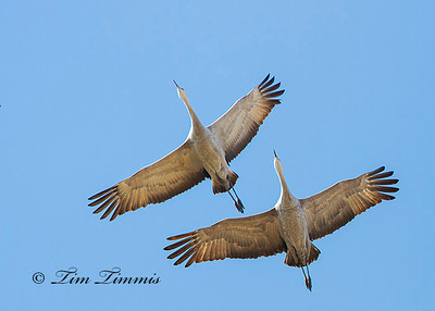 Nebraska Sandhill Cranes