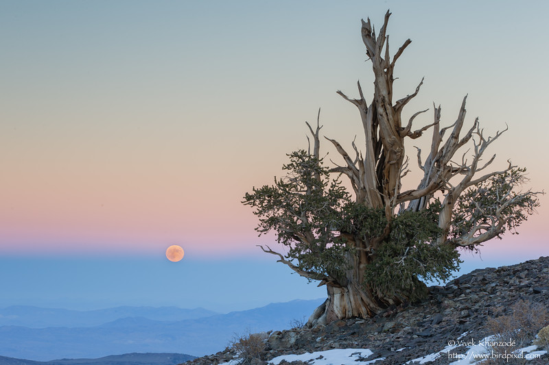 Moon and Bristlecone pine - Ancient Bristle Cone Pine Forest, Lone Pine, CA, USA