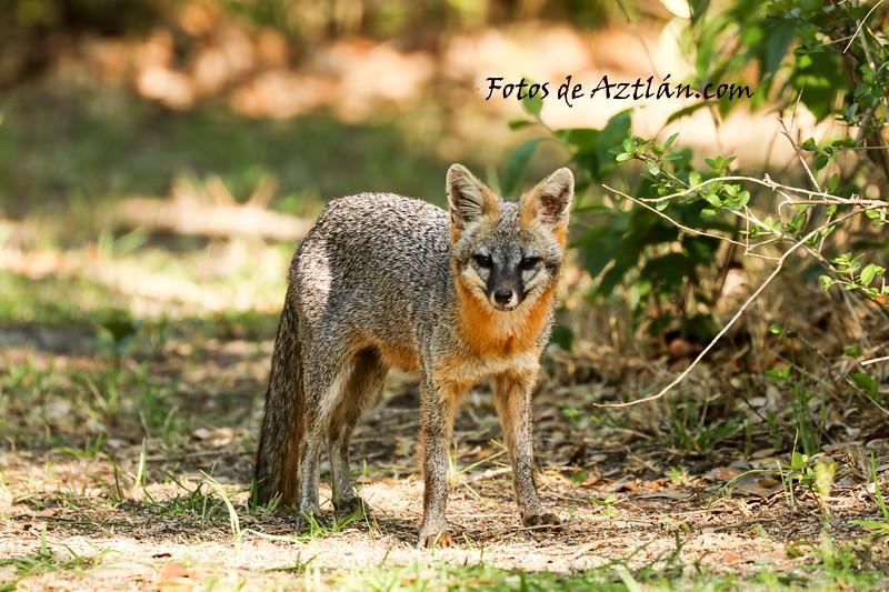 Grey fox IMG_4793.jpg