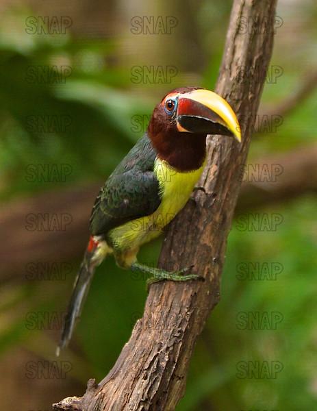 Green Aracari Toucan