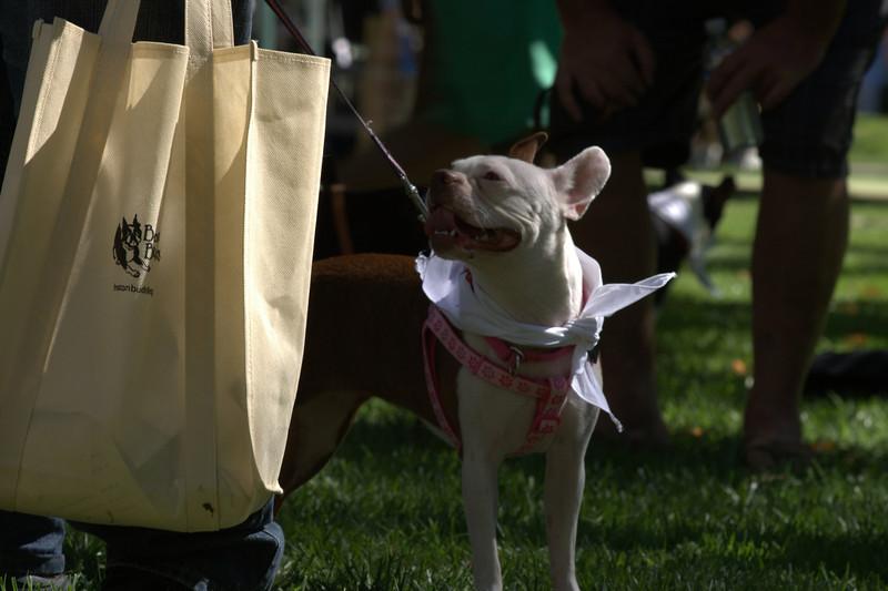 boston terrier oct 2010 037.jpg