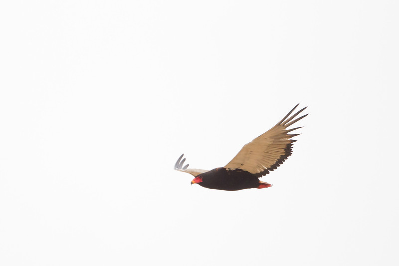 Bateleur in flight - Tarangire National Park, Tanzania
