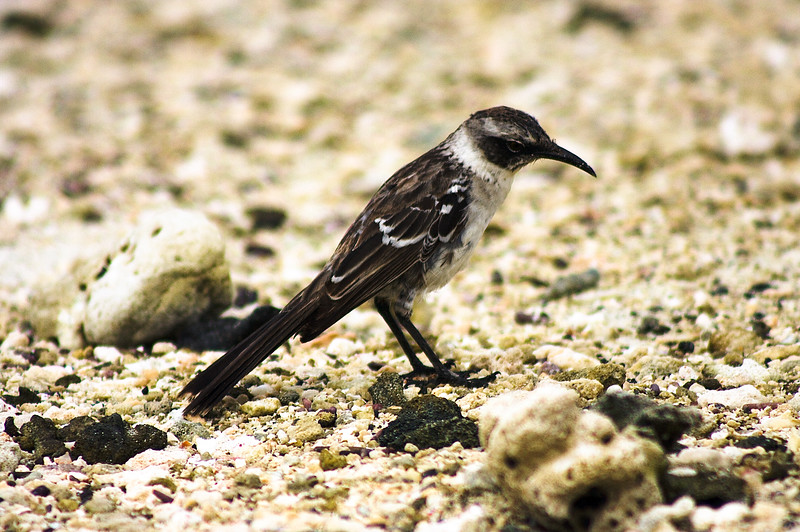 Small Sparrow Close Up : Journey into Genovesa Island in the Galapagos Archipelago