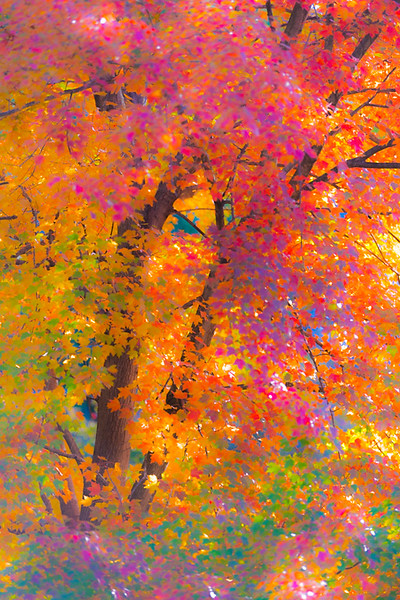 AUTUMN MAPLE  7