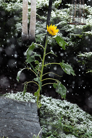10/29/11  Sunflower in Snow
