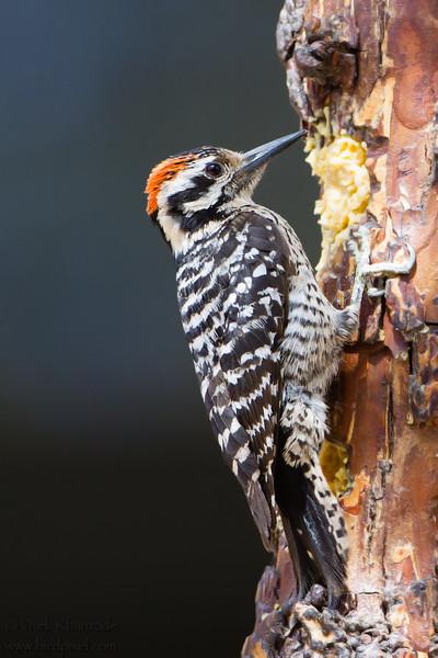 Ladder-backed Woodpecker - Male - Ash Canyon B&B, Hereford, AZ, USA