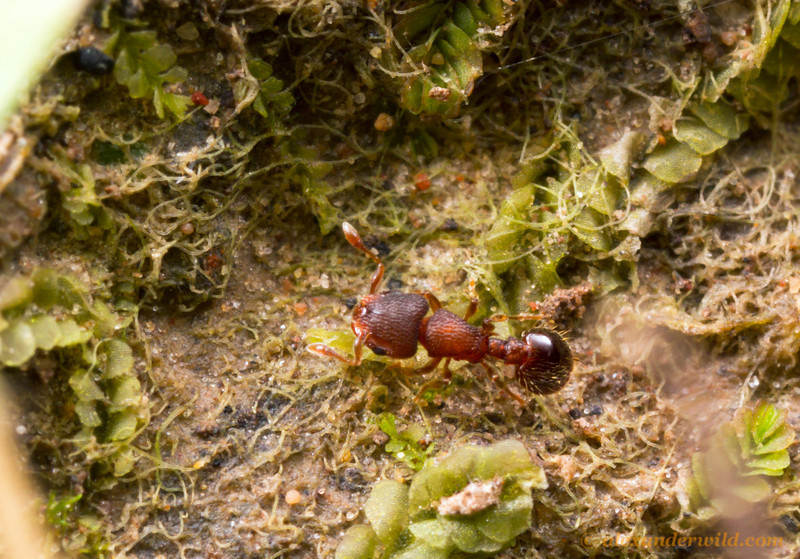 A tiny Mayriella ebbei worker forages along the floor of a Eucalyptus woodland.  Diamond Creek, Victoria, Australia