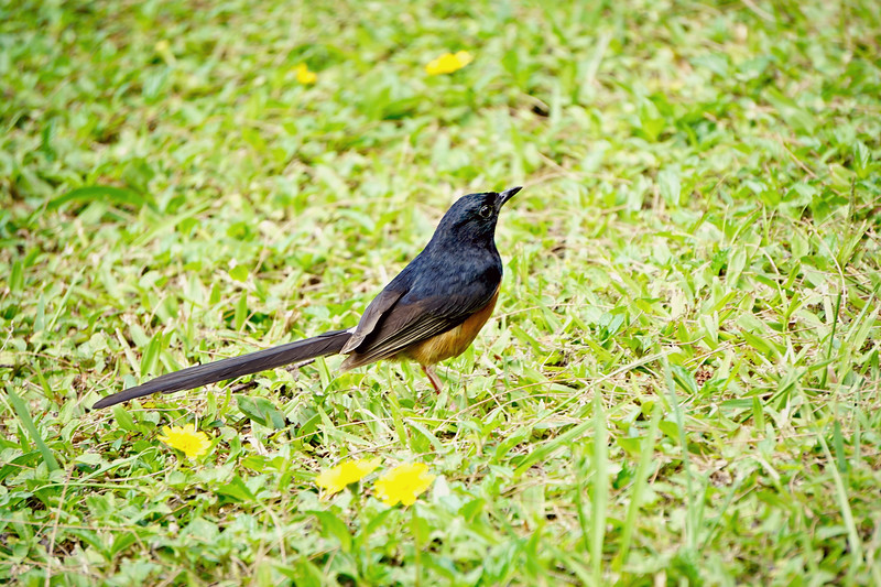 White Rumped Shama, Nepali Coast