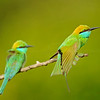Two green bee-eaters