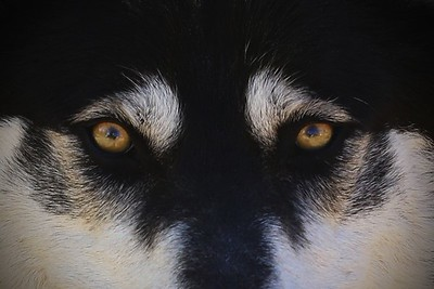 Wolves & Wolfdogs