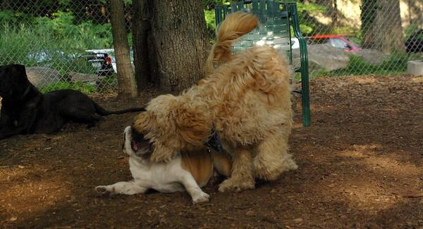 july 1 resize::WALLY, Buddy (bulldog)