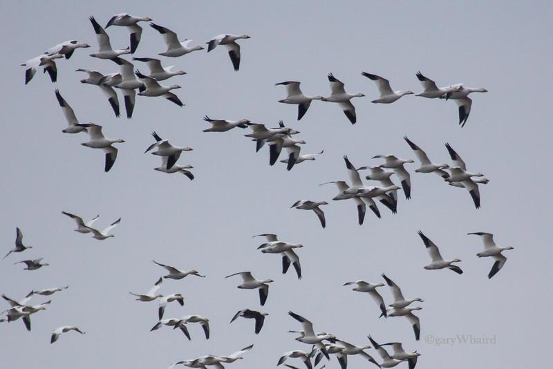 Snow Goose Flock Arrival