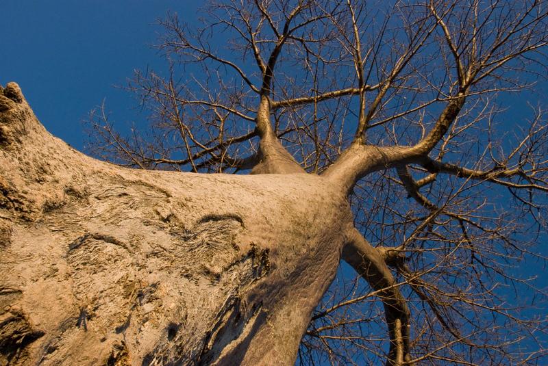 Baobab Tree.jpg