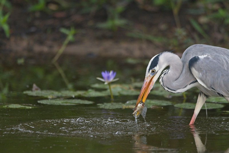 Grey Heron Closeup