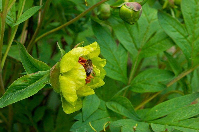 Yellow Peony with Honey Bee