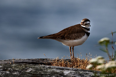 Killdeer at Esquimalt Lagoon