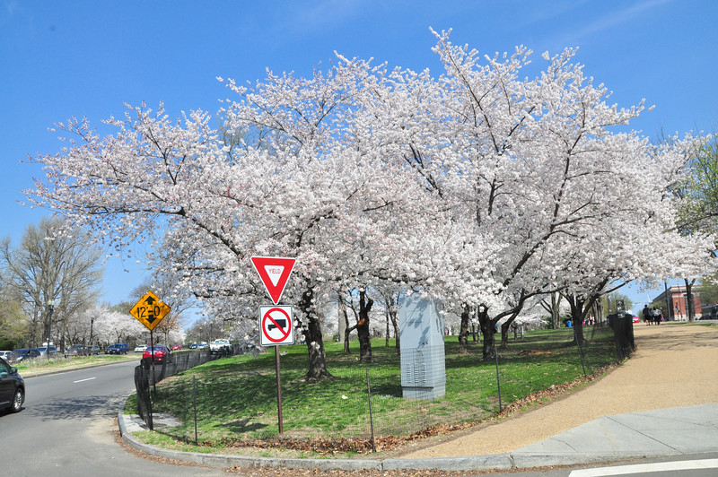 Cherry Blossoms 2014 016.jpg