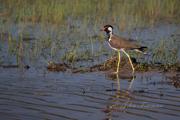 Red-Wattled Plovers
