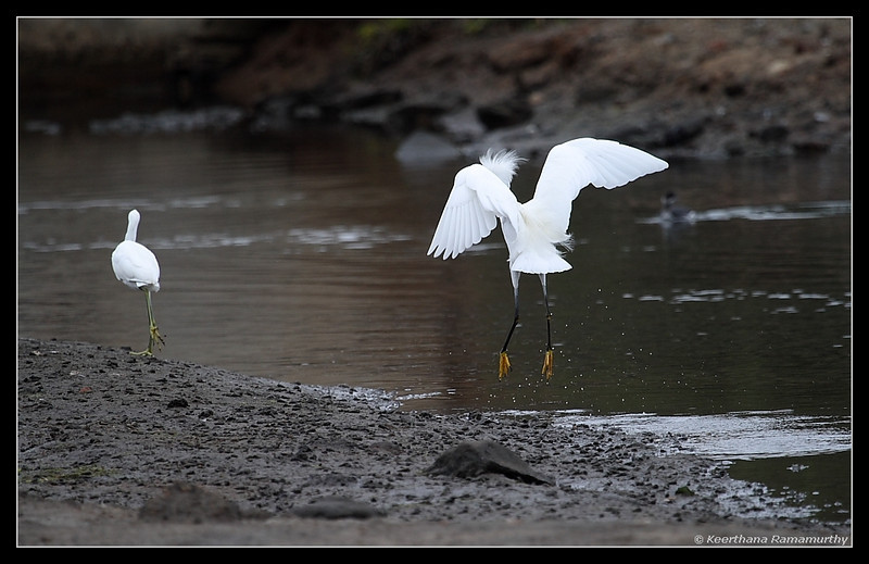 Snowy Egret chasing away Juvenile Little Blue Heron, Famosa Slough, San Diego County, California, December 2008