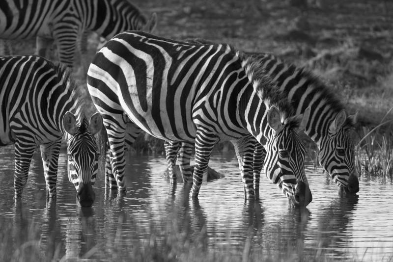 Zebras at Lewa.