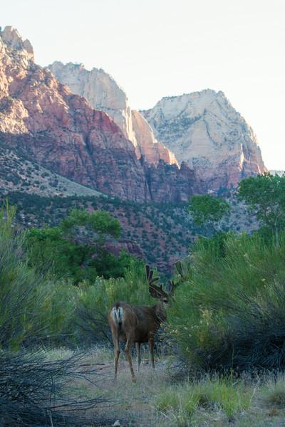 Zion National Park buck