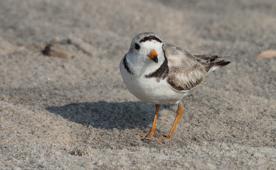 Birds of Nickerson Beach and Marine Study Area - June and July, 2014
