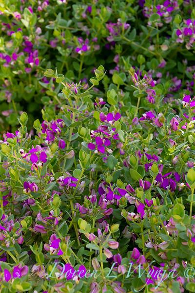 Polygala fruticosa 'Petite Butterflies'_2259.jpg
