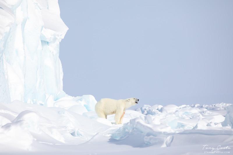 Baffin Polar Bear